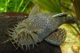 Bristlenose Catfish - Ancistrus Common 3-5cm