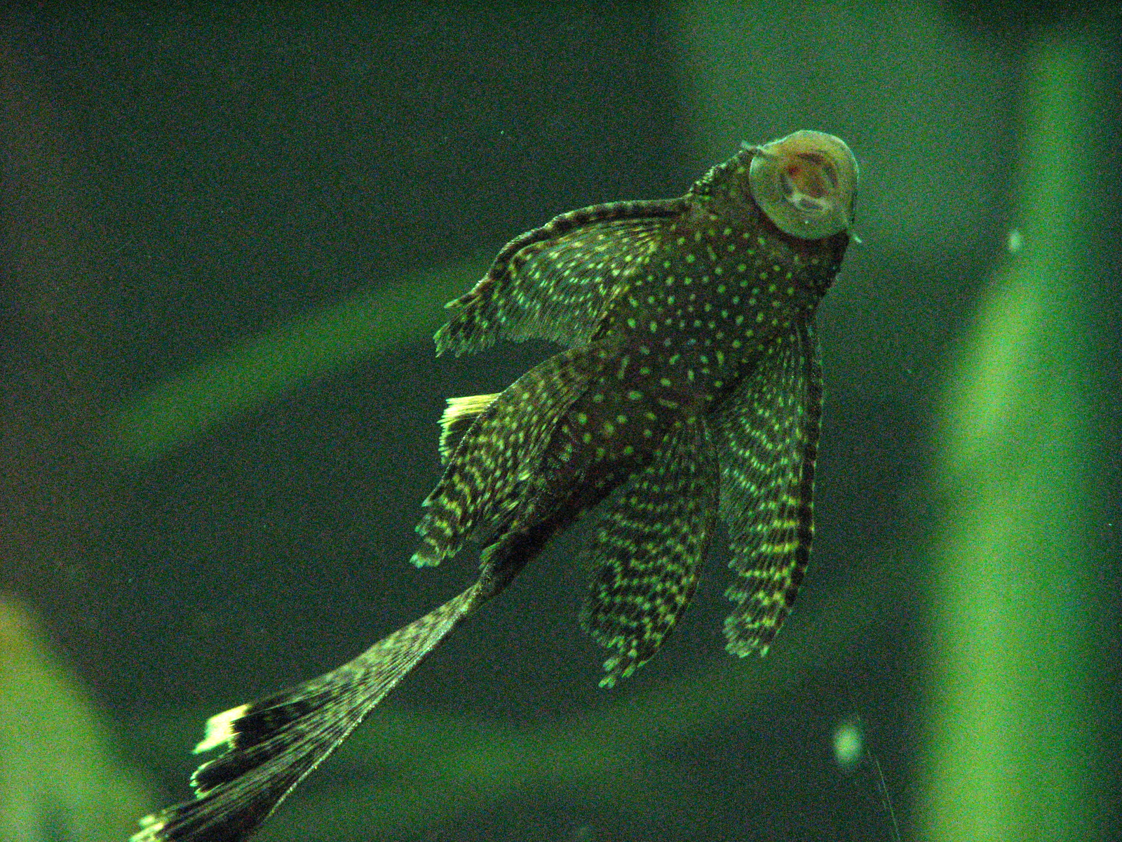 Bristlenose Longfin Catfish - Ancistrus Common 3-5cm