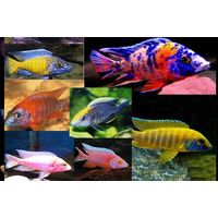Assorted Small African Cichlids