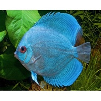 Discus Blue Diamond 5cm