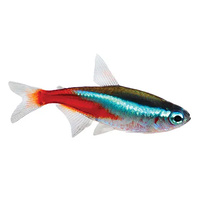 Neon Tetra 3cm Single