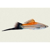 Wagtail Pineapple Swordtail 5cm